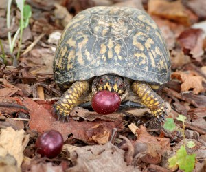 Box Turtle with a Muscadine