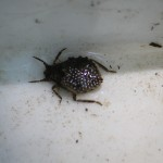A giant water daddy bug with eggs in ephemeral pool.