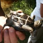 Plastron of Musk Turtle