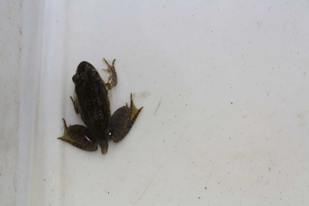 Note the Late Stage Metamorphosis of Tadpole to Frog