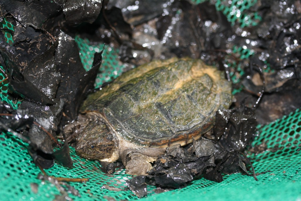 A surprise catch in an Aquatic Dip Net – A Young Snapping Turtle