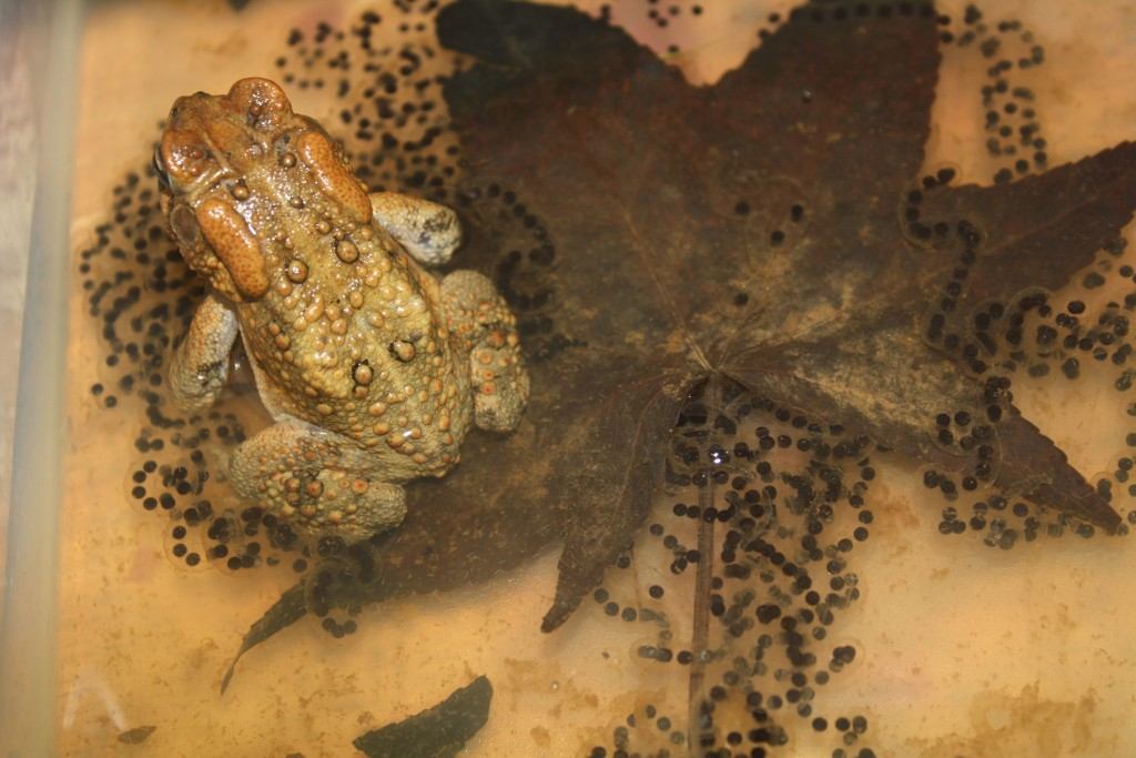 Female American Toad with Strings of Eggs