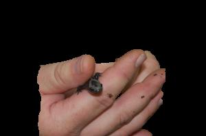 adult-salamanders