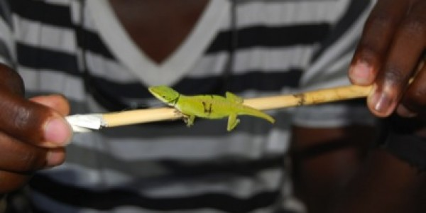 A recently marked anole. The anole had lost its tail prior to being captured.