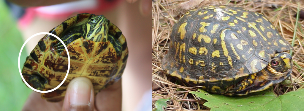 "Left: A hatchling semi-aquatic turtle. The bridge (circled) connects the carapace and the plastron and is located between the front and back legs. The bridge is present in box turtles (right), but not as easy to see. The carapace of a box turtle is shaped like an old style German army helmet or the letter ""C""."