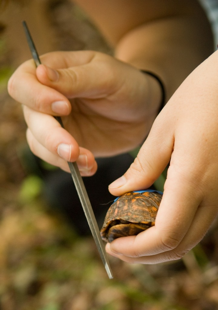 A student filing the carapace of a box turtle.