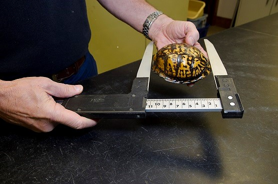 Measuring the straight carapace length (SCL) of an Eastern Box Turtle using calipers.