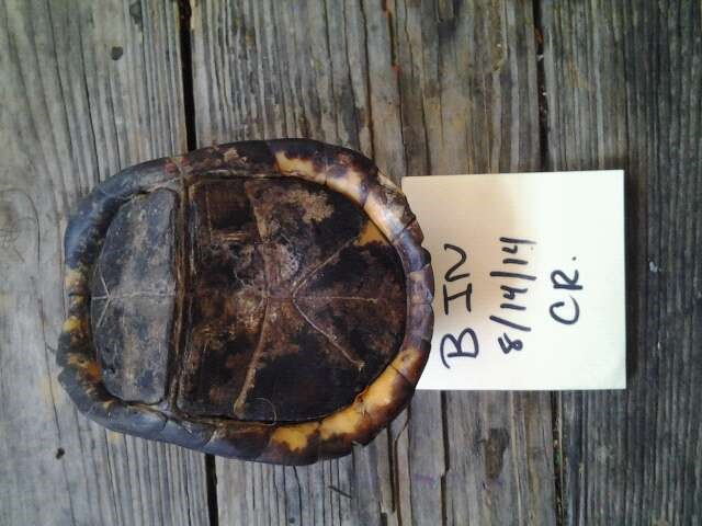 The plastron of a box turtle. Note the paper indicates the marking code for the box turtle (BIN), the date of capture and the official code of the site, in this case CR for Chestnut Ridge.