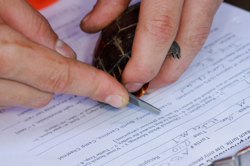 Marking a painted turtle and recording data for mark/recapture study