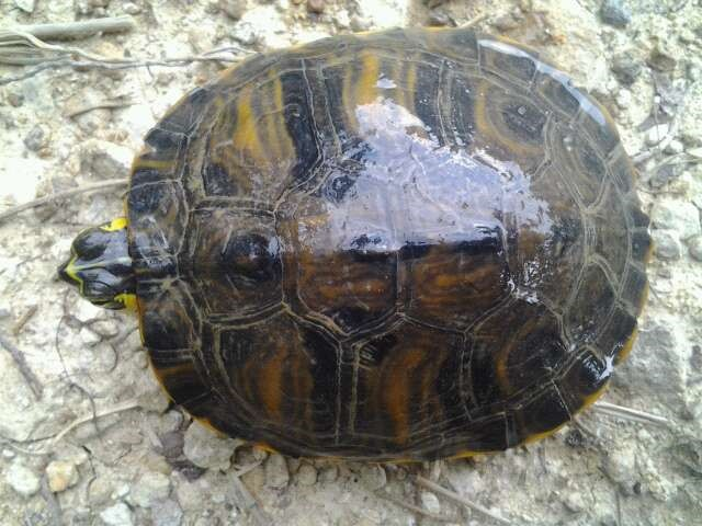 The carapace of a Florida cooter
